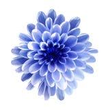 Vit-blått blommar krysantemumet, trädgårdblomman, vit isolerad bakgrund med den snabba banan closeup Inget skuggar fotografering för bildbyråer