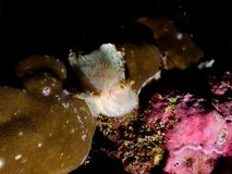 Vit bladscorpionfish Arkivfoto