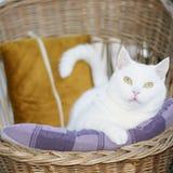 Vit blandad-avel kvinnlig katt som ligger i den vide- stolen Royaltyfri Foto