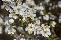Vit blom Fotografering för Bildbyråer