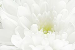 Vit blomma Royaltyfri Bild