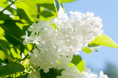 Vit blomma royaltyfri fotografi