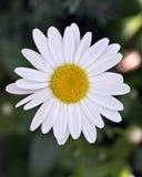 Vit blomma Arkivbilder