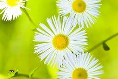 Vit blomma Arkivfoton