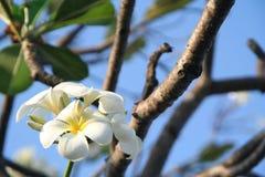 Vit blomma Royaltyfria Foton