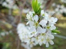 Vit blomma Royaltyfri Foto