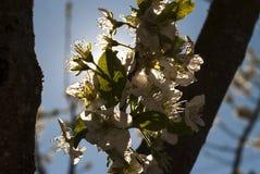 Vit blomma Fotografering för Bildbyråer