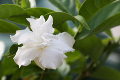 Vit blomma 307 royaltyfria foton
