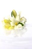 Vit blomma, andamansidenträ på vatten. Royaltyfri Bild