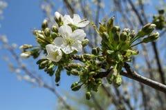 Vit blomma av äpplet Fotografering för Bildbyråer
