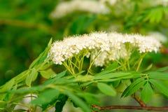 Vit blomma av ashberry Fotografering för Bildbyråer