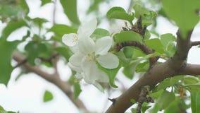 Vit blomma av att blomstra Apple-trädet arkivfilmer