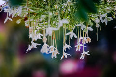 Vit blomma av Cork Tree, indisk kork, Millingtonia hortensis Arkivfoton