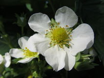 Vit blomma av en jordgubbe Royaltyfria Foton