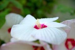 Vit blomma av hibiskusen Moscheutos Fotografering för Bildbyråer