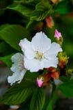 Vit blomma av mirabilisen Jalapa Arkivbilder