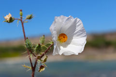 Vit blomma Baja California Sur arkivbilder