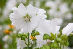 Vit blomma efter regn Arkivfoto