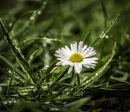 Vit blomma efter regnig timme Royaltyfri Fotografi