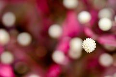 Vit blomma för blomning på oskarp bakgrund Royaltyfria Bilder