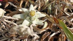 Vit blomma för edelweiss Leontopodiumalpinum royaltyfria foton