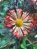Vit blomma för en rosa färg och Fotografering för Bildbyråer