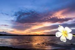 Vit blomma för Frangipani Arkivbild