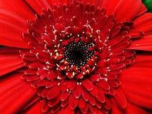 Vit blomma för gåvaöverraskning och röd makro Arkivbild