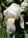 Vit blomma för irisgermanica på en solig dag Arkivbilder