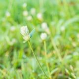 Vit blomma för jordklotAmaranth Arkivfoton