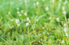 Vit blomma för jordklotAmaranth Royaltyfri Bild