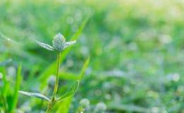 Vit blomma för jordklotAmaranth Arkivbilder