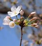 Vit blomma för körsbärsröda blomningar Royaltyfri Bild