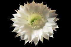 Vit blomma för kaktus på en svart bakgrund Arkivfoto
