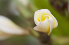 Vit blomma för makro i Thailand, LAN-thomblomma, Frangipani, Champa Arkivfoton