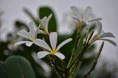 Vit blomma för monsun Arkivfoton