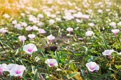 Vit blomma för morgonhärlighet Arkivfoton
