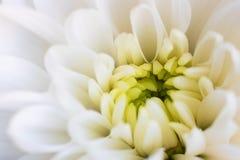 Vit blomma för nära övre krysantemum med den gula mitten och suddiga kronblad på kanter horisontal Ny härlig kronatusensköna som fotografering för bildbyråer