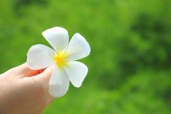 Vit blomma för Plumeria Royaltyfri Bild