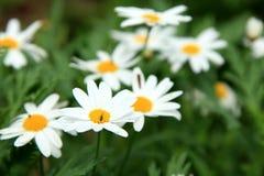 Vit blomma för tusensköna Royaltyfria Foton