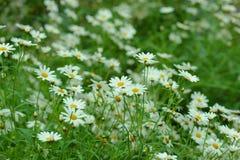 Vit blomma för tusensköna i trädgårds- milt mjukt royaltyfria foton