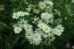 Vit blomma för tusensköna i trädgårds- milt mjukt royaltyfri foto