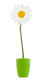 Vit blomma för tusenskönasommar Royaltyfria Bilder