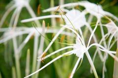 Vit blomma från Cambodja Arkivbilder