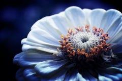Vit blomma i aftonen Arkivbild