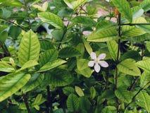 Vit blomma i de gröna sidorna Arkivfoton