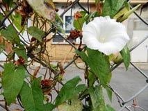 Vit blomma i ett staket royaltyfri foto