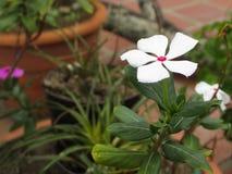Vit blomma i liten trädgård royaltyfri fotografi