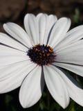 Vit blomma i min hemstad Arkivfoton