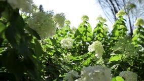 Vit blomma i trädgård arkivfilmer